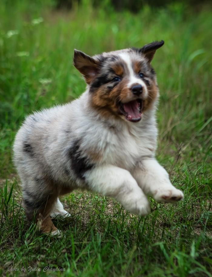 Очень удобно Моё, Собака, Милота, Австралийская овчарка, Аусси, Авто, Путешествия, Длиннопост