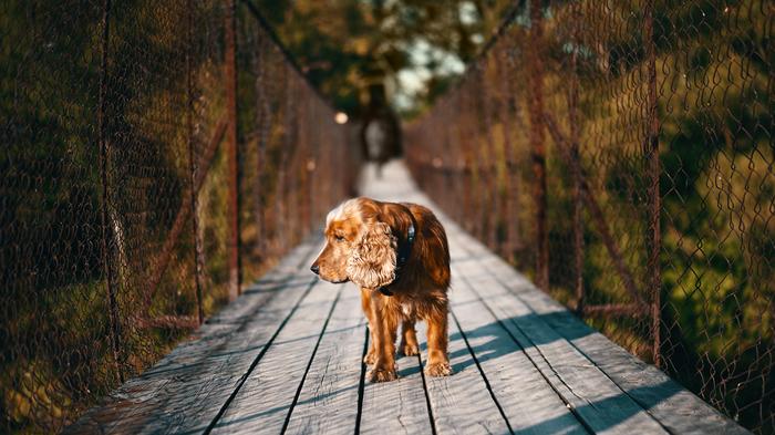 Встреча на мосту. Собака, Кокер-Спаниель, Спаниель, Хороший мальчик, Волотово, Черепянь, Подвесной мост