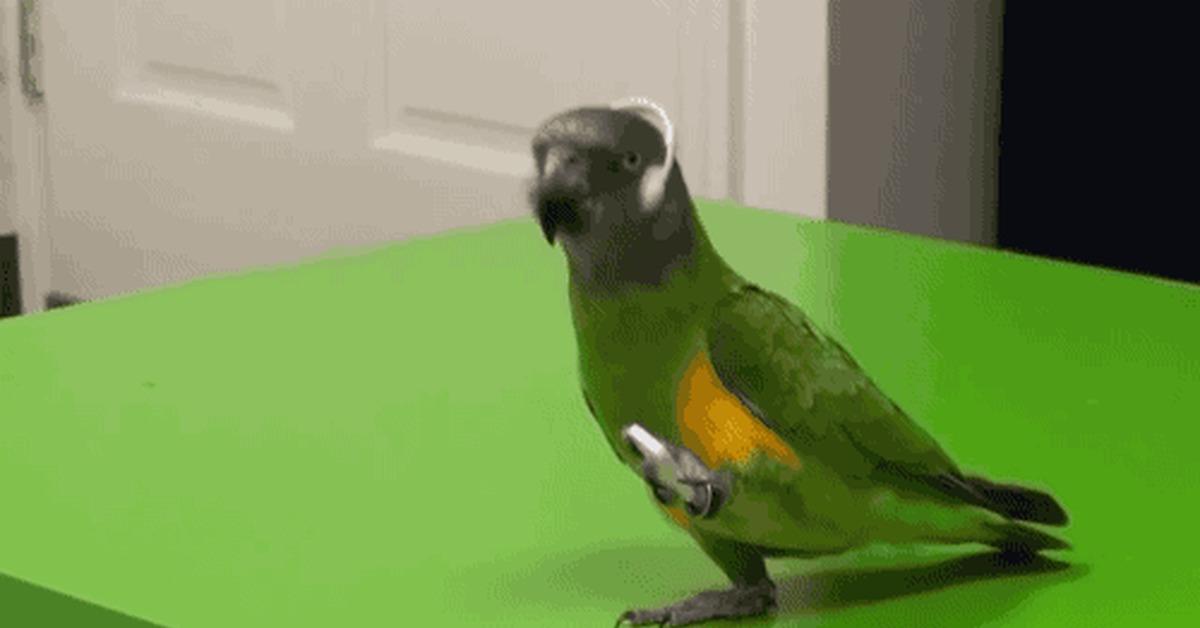 Гифка попугаи танцуют
