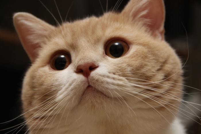Хитрый Брюс) Кот, Шотландская вислоухая