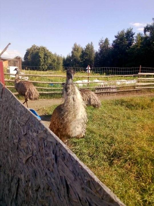 Внимание, розыск! В Могилевской области из птичьего приюта сбежал страус Tutby, Беларусь, Страус, Побег, Эму, Без рейтинга
