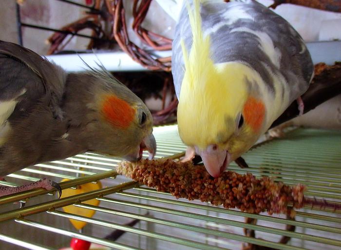 Дары осени для попугаев. Часть 1. Попугай, Корелла, Чем кормить попугая, Чумиза, Боярышник, Рябина, Бузина, Подсолнух, Длиннопост