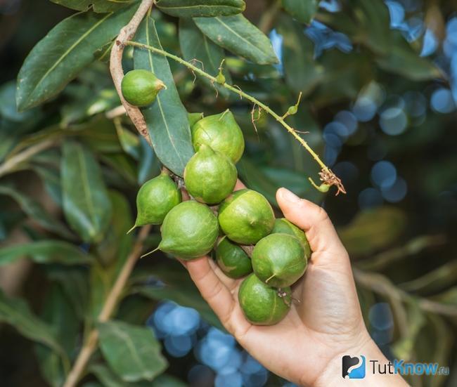 Самый дорогой орех в мире Макадамия, Орехи, Длиннопост