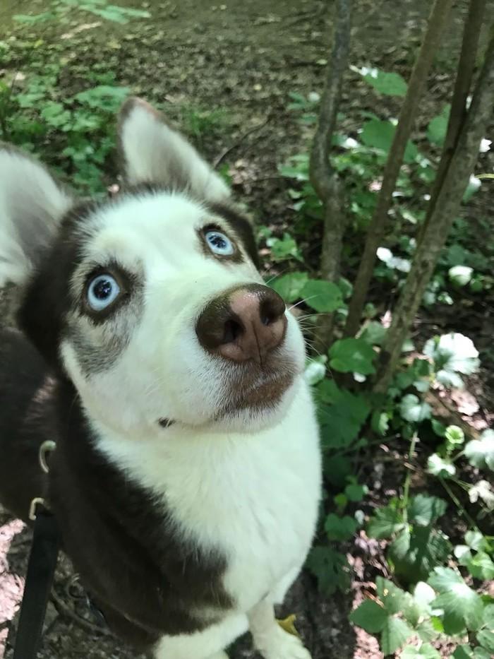 Пропала собака! Чертаново Южное! Пропала собака, Хаски, Потеряшка, Длиннопост, Без рейтинга