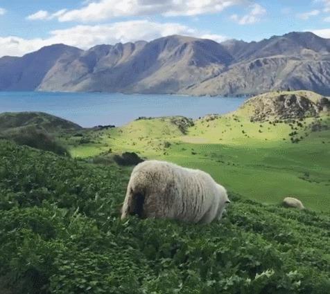 Невероятная красота Путешествия, Новая Зеландия, Животные, Овцы, Пейзаж, Озеро, Горы, Гифка