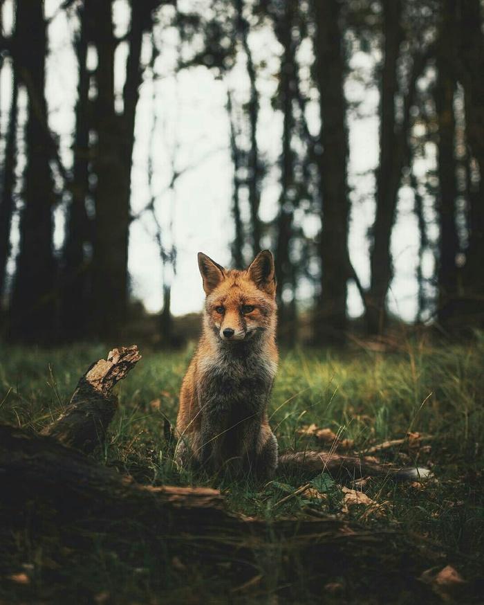 Что-то колобок опаздывает... Лиса, Лес, Колобок, Природа, Дикие животные, Милота, Ожидание