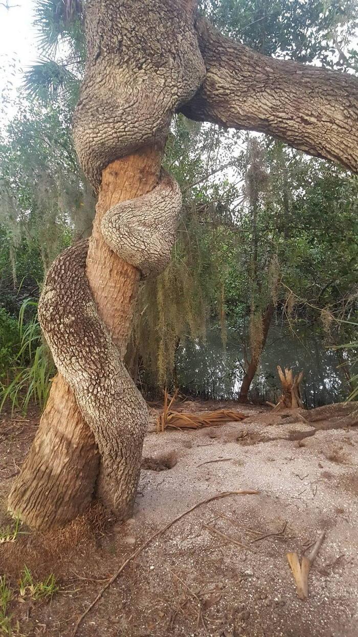 Пальма и дуб выросли вместе