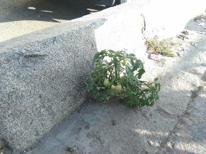 Помидорки в Питере (Monaora, вызов брошен, найдём больше помидорок) Помидор, Санкт-Петербург