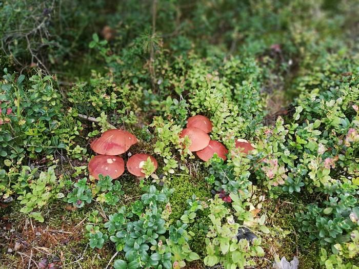 Осени пост #2 Подосиновик, Грибы, Лес, Тихая охота, Длиннопост