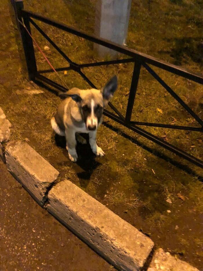 Потерянный щенок. Спб Санкт-Петербург, Потеряшка, Без рейтинга, Помощь, Передержка, Ладожская, Длиннопост