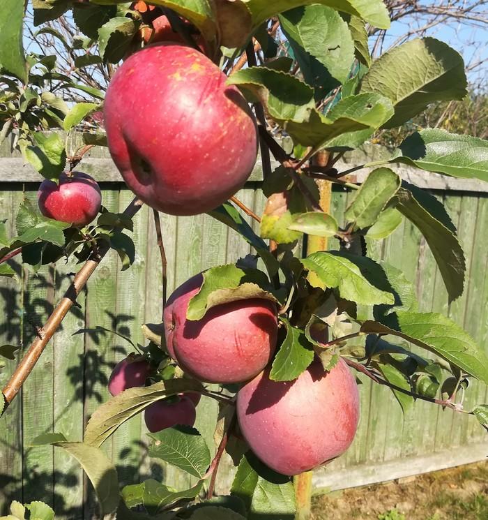 Яблочки на малюсенькой яблоне Яблоки, Сад, Яблоня