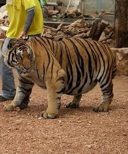 Мамы всякие нужны, мамы всякие важны! Тигр, Мама, Мать и ребёнок, В мире животных, �нтересное, Длиннопост