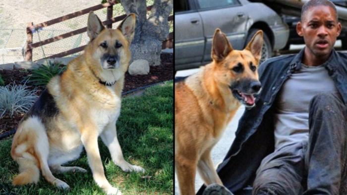 Собака из «Я Легенда», теперь ей 13 лет Собака, Уилл Смит, Imgur, Я легенда, Эбби, Знаменитости