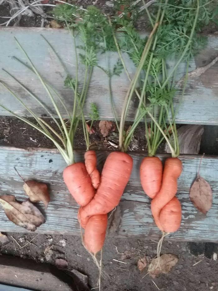 У морковки пополнение