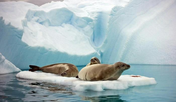 Тюлень-крабоед, который не ест крабов и имеет потрясающие зубы Тюлень, Природа, Интересное, Длиннопост