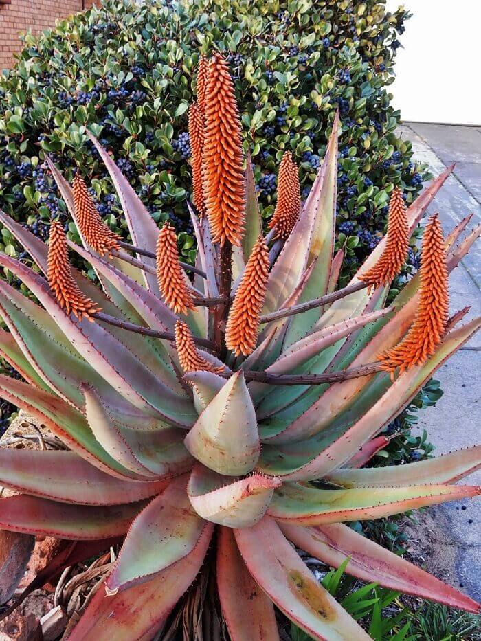 Что мы знаем про алоэ? Алоэ, Комнатные растения, Домашние цветы, Длиннопост