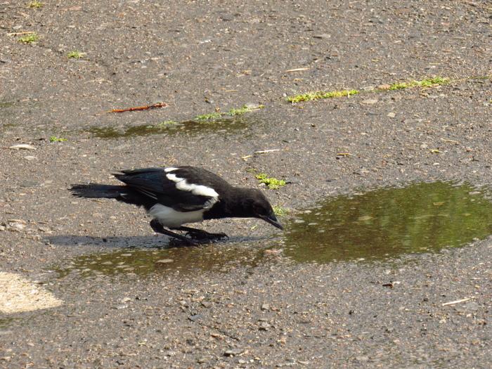 Маленькие сороки Сорока, Слетки, Птицы, После дождя, Парк, Длиннопост