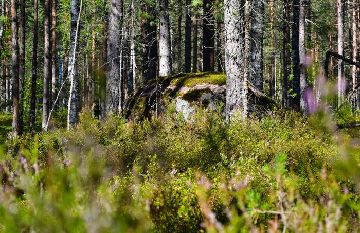 Недалеко от Питера... (часть 4) Фотография, Лес, Ленинградская область, Природа, Nikon, Длиннопост