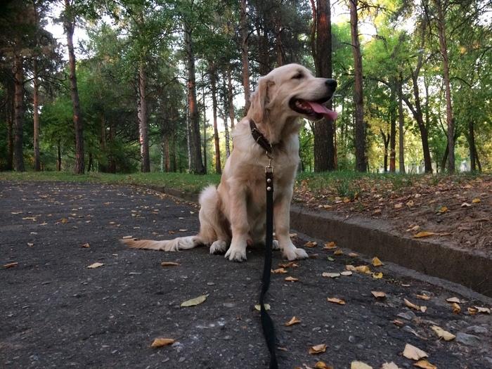 Собака цвета заката. Собака, Парк, Закат, Золотистый ретривер, Прогулка, Фотография, Нижний Новгород, Длиннопост