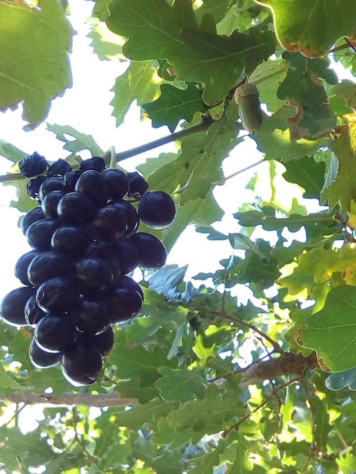 Дубовый виноград Сад, Огород, Дуб, Виноград, Нашли друг друга, Длиннопост