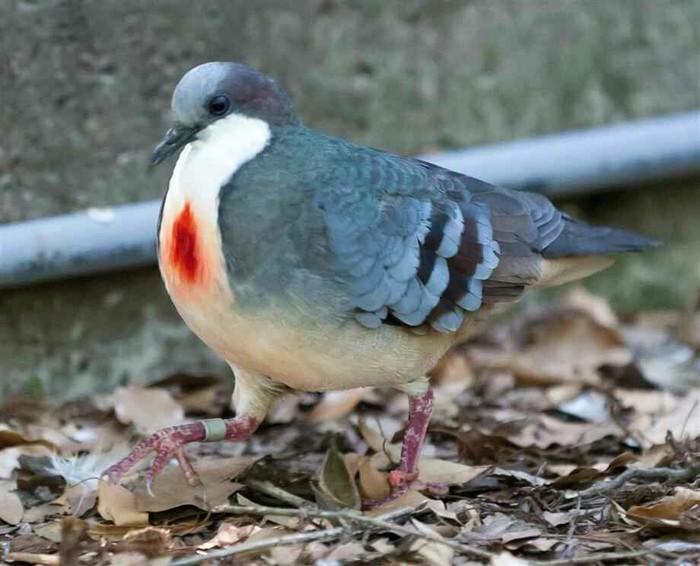 Голубь кровоточащеесердце. Голубь, Птицы, Сердце, Интересное, Фотография, Красота, Природа, Биология