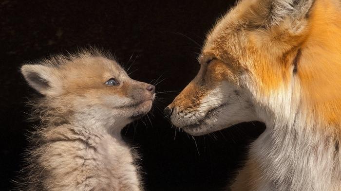 Лисёнок с мамой