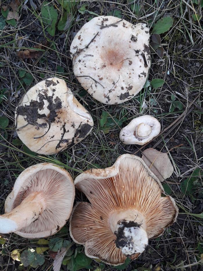 Помогите распознать, что за гриб Грибы, Лес, Длиннопост
