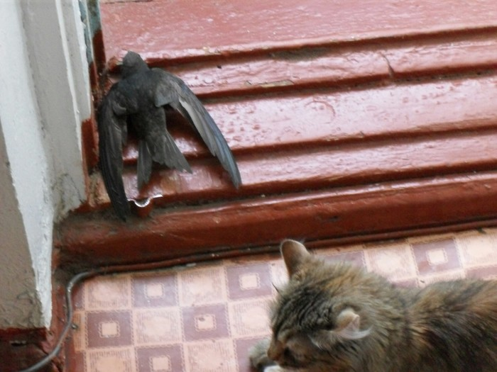 Сегодня кошка начудила Кот, Ласточка, Обман, Охотник