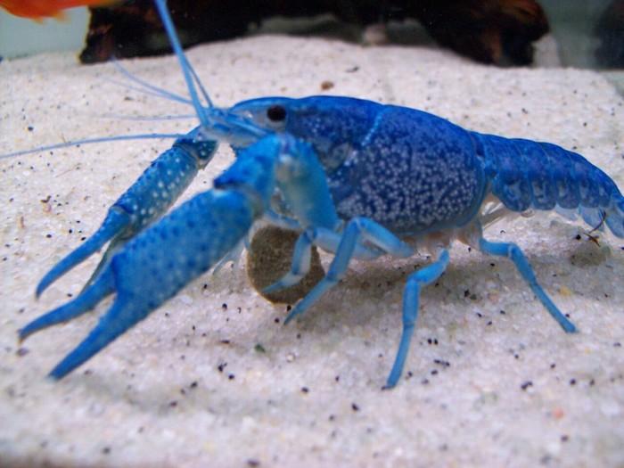 Синие Раки - редкая генетическая странность. Рак, Природа, Удивительное, Интересное, Красота, Фотография, Красота природы