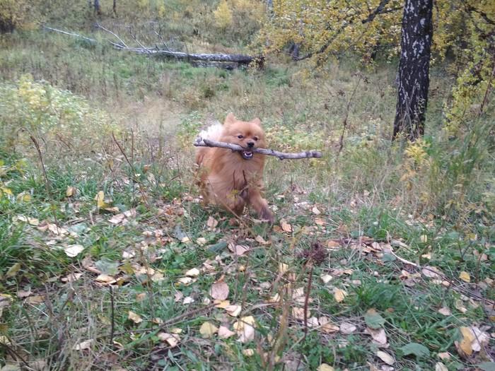Осенняя прогулка Собака, Осень, Лес, Длиннопост