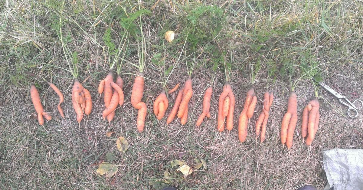 Картинки прикол любовь морковь, поздравлением днем