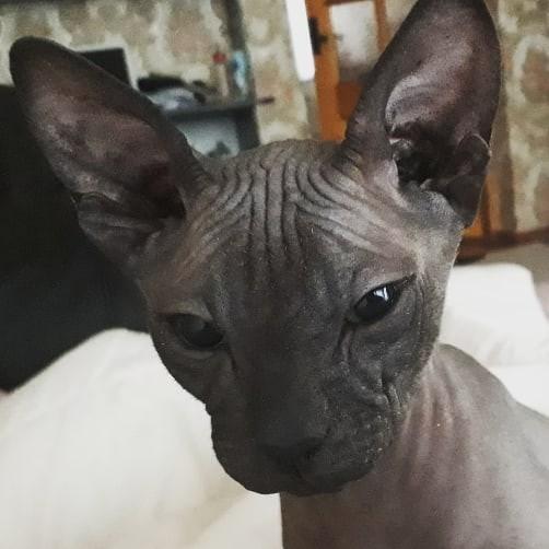 Марс. Сфинкс, Кот, Член семьи