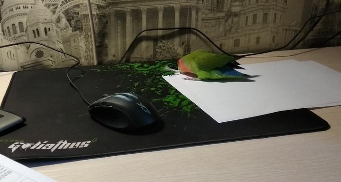 Портативный зеленый шредер Попугай, Неразлучники, Попугай Тотоша, Шредер, Птицы, Длиннопост