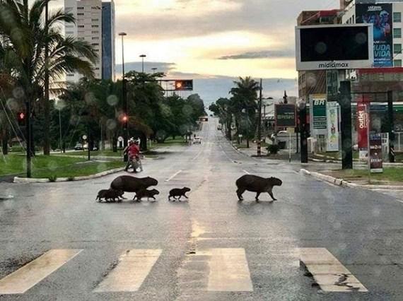 В Бразилии женщина остановила автомобили, чтобы семейство капибар перешло дорогу Бразилия, Капибара, Милота, Видео, Длиннопост