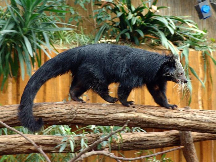 Бинтуронг: Медведь, который стал котом Бинтуронг, Животные, Книга животных, Юмор, Природа, Дикие животные, Зоология, Длиннопост