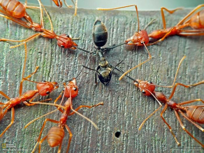 Американские муравьи-рабовладельцы. Фотография, Насекомые, Животные, Интересное, Необычное, Муравьи, Природа
