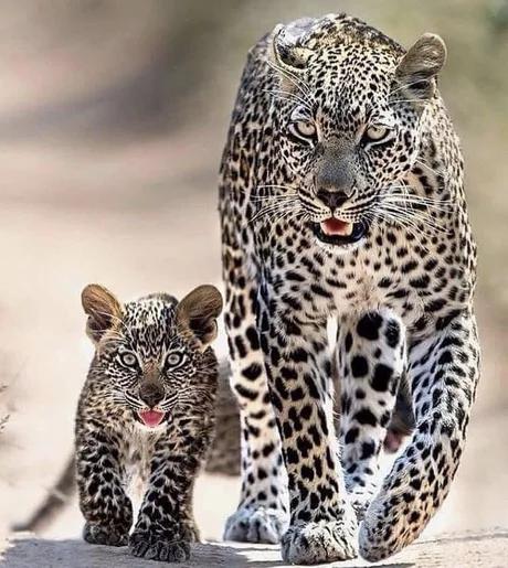 Мама учит охотиться