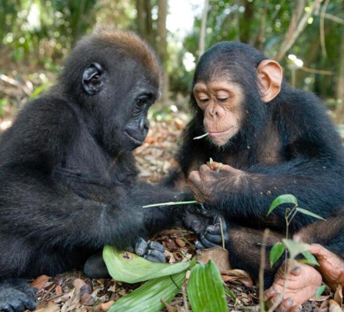 Детеныши гориллы и шимпанзе обсуждают вещи