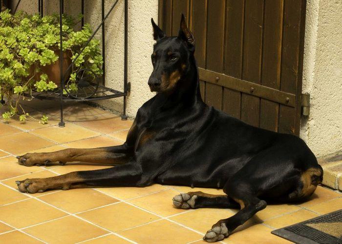 Доберман прекрасен Доберман, Собака, Фотография