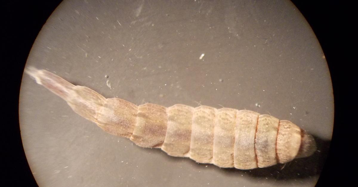 этот раз личинка мухи фото под микроскопом околоземной
