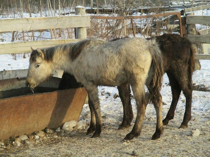 Маркиза: Купить здоровую лошадь или спасти с бойни? Лошади, Животные, Фотография, Длиннопост