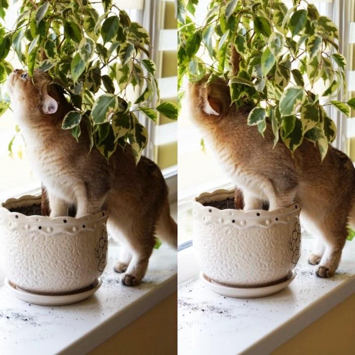 Агроном - любитель. Кот, Котомафия, Домашний любимец, Британская короткошерстная, Британский кот, Вредина