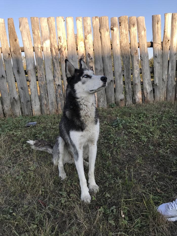 Ищем старых или новых хозяев собаке породы хаски в Липецкой области Хаски, Собака, Потеряшка, Липецк, Липецкая область, Длиннопост, Ищу хозяина, Найдена собака, Без рейтинга