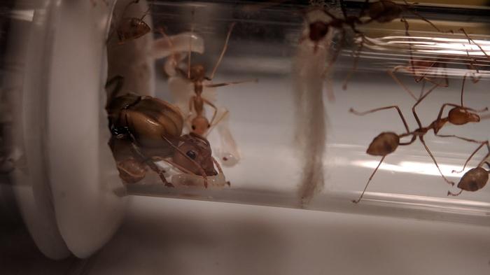 Новый дом для муравьев-портных Муравьи, Формикарий, Мирмикипер, Фотография, Насекомые, Муравьиная ферма, Длиннопост, Своими руками
