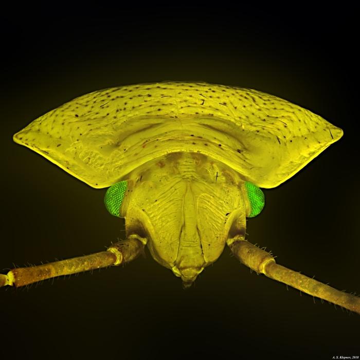 Щитник зеленый. Микроскоп, Клопы, Щитник, Насекомые, Микромир