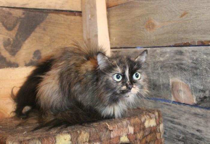 Пять тюменских кошек замерзают в дырявом сарае. Кот, Спасение, Тюмень