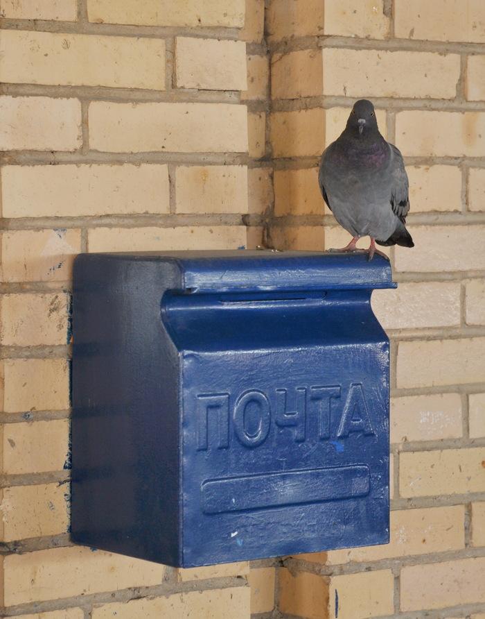 Ничего удивительного: почтовый голубь сверяет адрес доставки Голубь, Почта, Почта России, Волоколамск, Автовокзал, ПАТП, Длиннопост