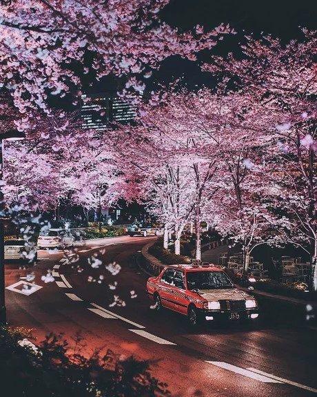 Вишневый цвет в Японии