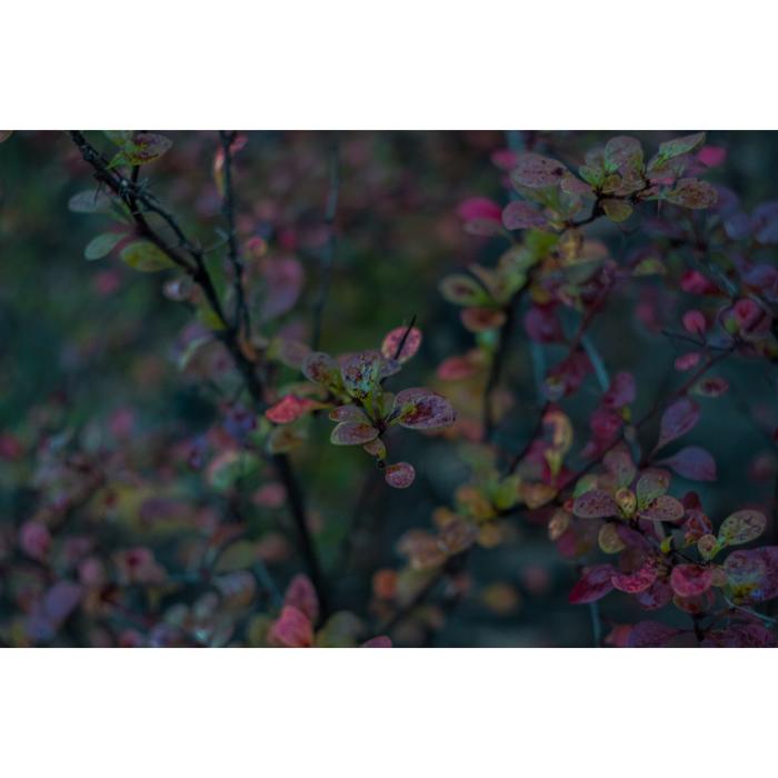 Барбарис Фотография, Гелиос, Гелиос 44-2, Мануальная оптика, Осень, Барбарис, Длиннопост