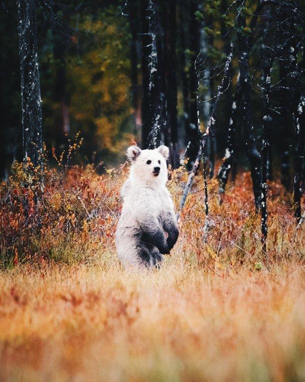 Редкий белый медвежонок, Финляндия